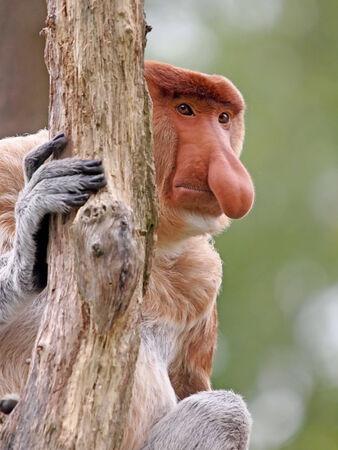sandakan: Probescis Monkey Stock Photo