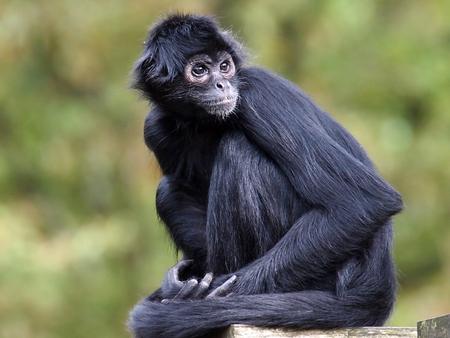 Spider Monkey Stockfoto