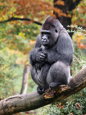 silverback: Silverback gorilla with an autumn background