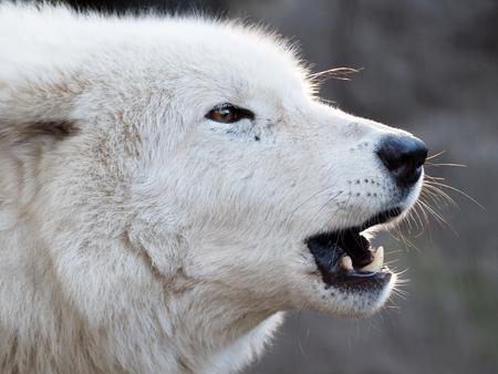 Howling white Hudson Bay Wolf photo