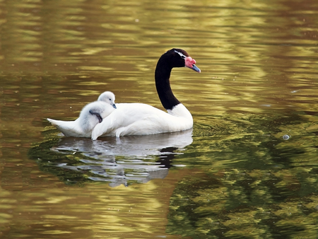necked: Black Necked Swan with chick
