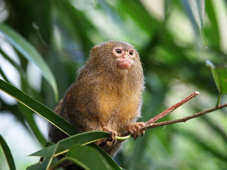 Portrait of the smallest monkey in the world