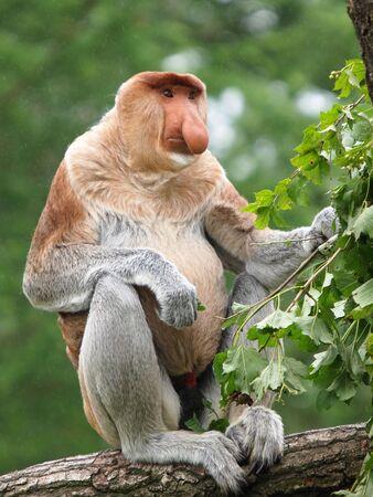 long nose: long nose monkey Stock Photo
