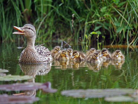 Duck mother with her ducklings between water lilies