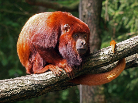 howler: red howler monkey Stock Photo