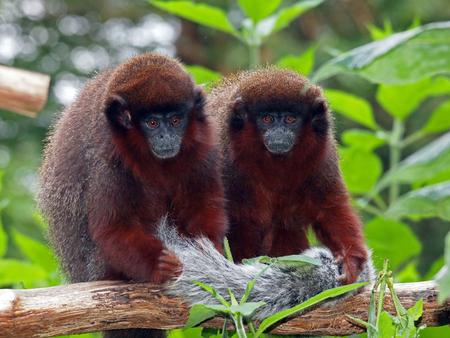 Red Titi Monkey Standard-Bild