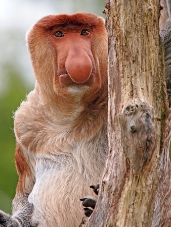 Probescis Monkey Stockfoto