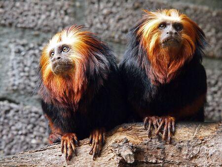 Lion Tamarins