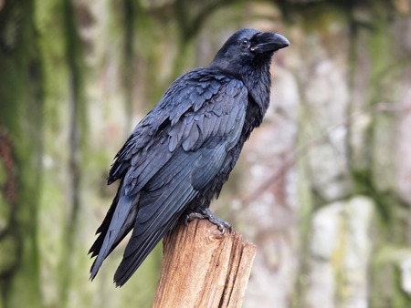 corvo imperiale: Raven