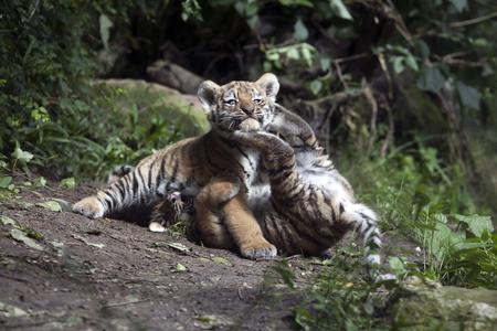 cubs: Playing tiger cubs