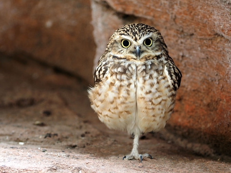 burrowing: Close up of burrowing owl