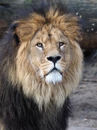 Lion 스톡 콘텐츠