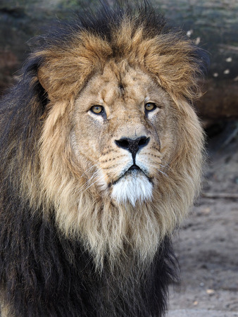 Lion Standard-Bild
