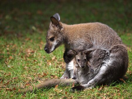 wallaby: Wallaby with baby