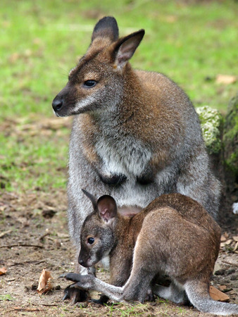animal pouch: Wallaby