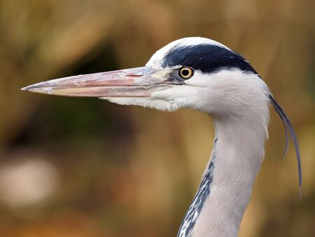 san joaquin: Blue Heron Stock Photo