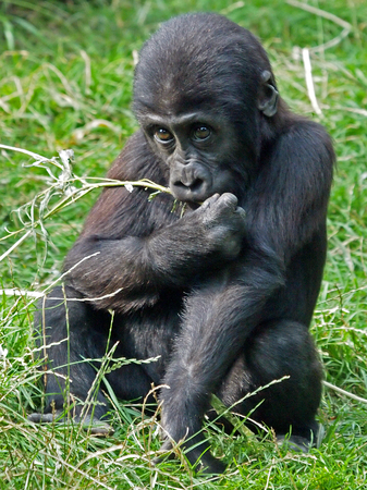 zoo youth: Gorilla youngster Stock Photo