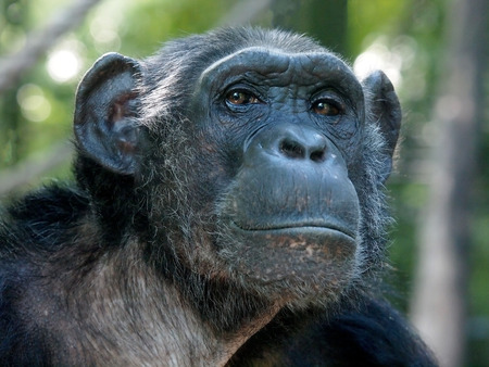 Chimpansee Stockfoto