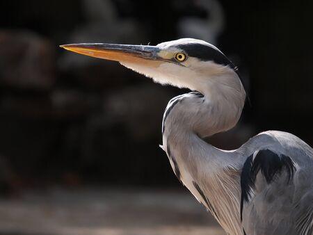 joaquin: Blue Heron Stock Photo