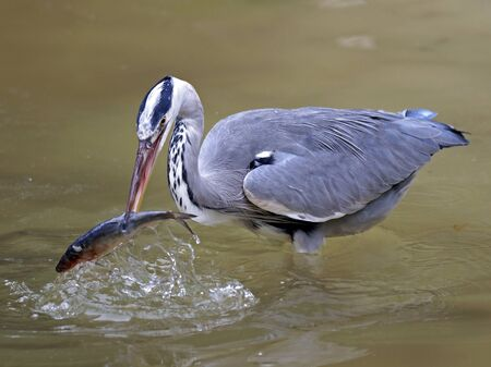 san joaquin: Blue heron catches fish