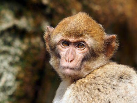 berber: Berber monkey