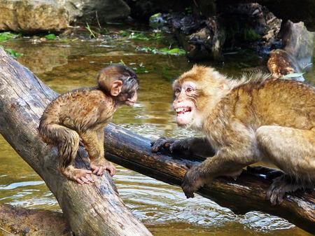berber: Berber monkeys