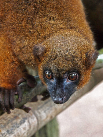 lac: Red bellied lemur