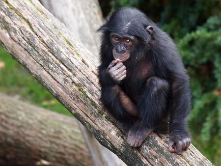 bonobo: Bonobo