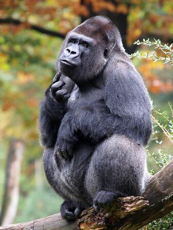 silverback: Silverback gorilla