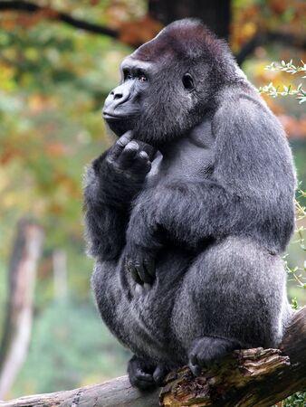 Gorilla portrait 스톡 콘텐츠