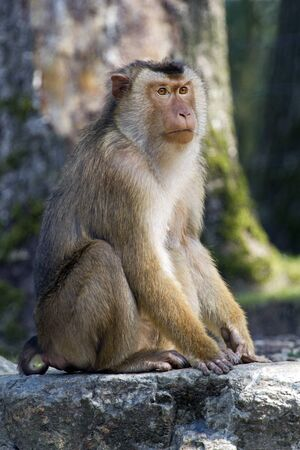 macaque: Pigtailed macaque