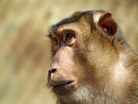 wil: Pigtailed macaque