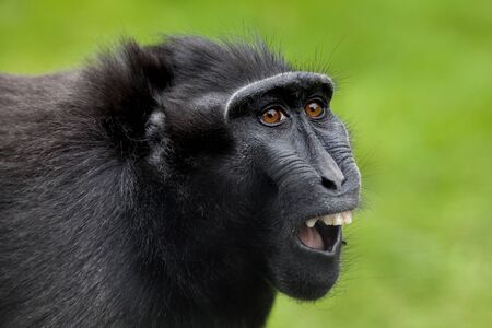 Crested macaque 스톡 콘텐츠