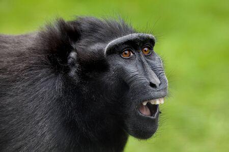 Crested macaque Standard-Bild