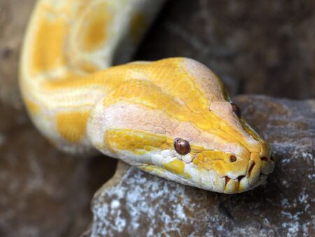 albino: Albino Pythons Stock Photo