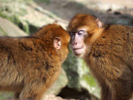 toge: Berber monkeys