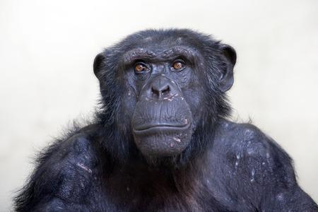 ojos negros: Chimpancé retrato Foto de archivo