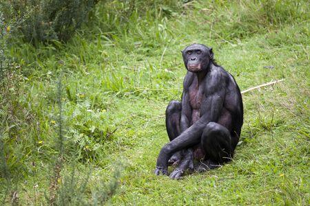 bonobo: Bonobo sitting in the grass