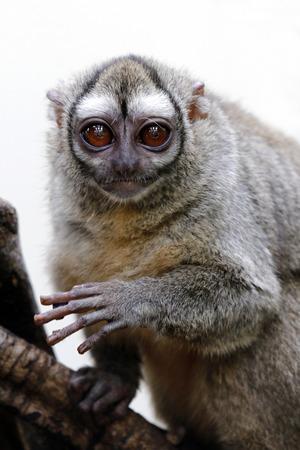 Gray-bellied night monkey Foto de archivo