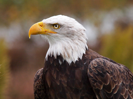 bald head: Eagle