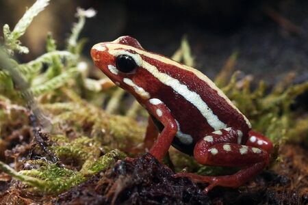 poison red frog Stock fotó