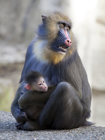 mandrill: Mandrill mother with her baby