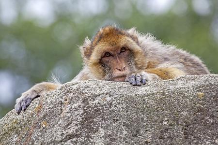 berber: Berber Monkey Stock Photo