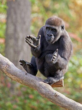 manos aplaudiendo: Gorila aplaudiendo manos Foto de archivo