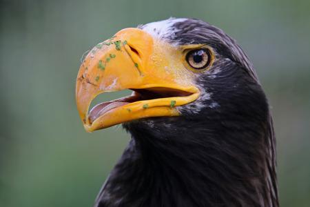 sea eagle: Stellers Sea Eagle