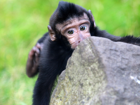 crested: Crested macaque Stock Photo