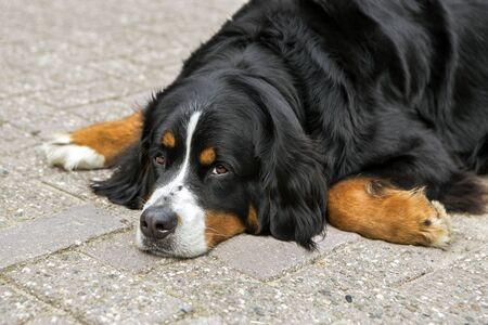 bernese dog: Bernese dog