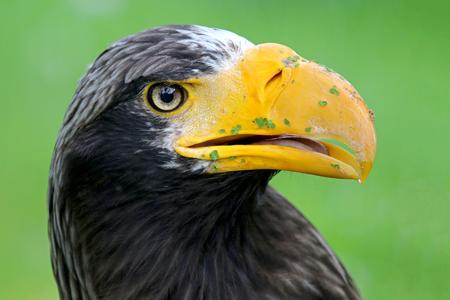 rnanimal: Stellers Sea Eagle