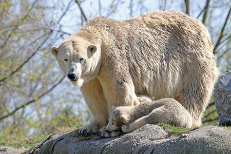 rnanimal: Polar bears