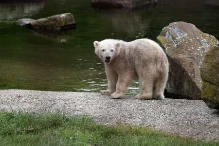 rnanimal: PolarBear Stock Photo